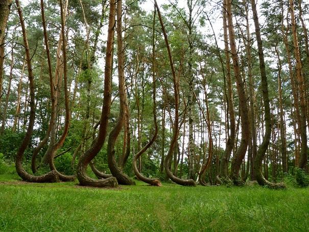 Il mistero della foresta storta di Gryfino, Nowe Czarnowo, Polonia